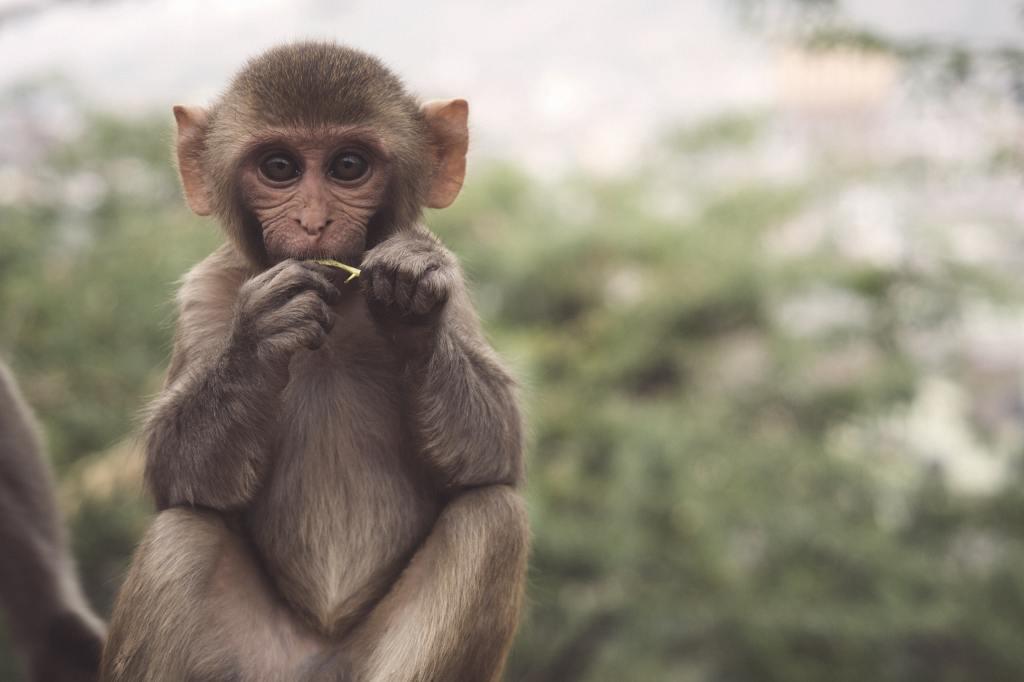 Photo of a monkey, credit Patrick Beznoska, accessed on Unsplash.com